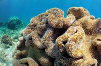 Soft Coral - Murion Islands, Exmouth WA